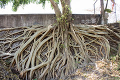 Roots of Bodhi Tree. In the temple Royalty Free Stock Photography