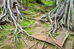 Roots branch of big tree Royalty Free Stock Images