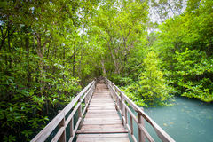 Roots and branches,mangrove forest of Thailand Royalty Free Stock Photos