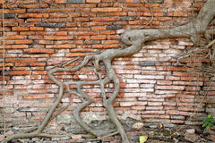 Roots on a brick wall Stock Photography