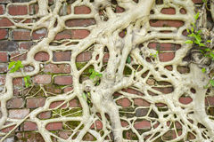 Roots on brick wall Stock Photography