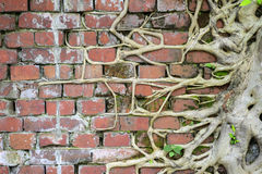 Roots on brick wall Royalty Free Stock Photo