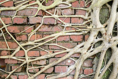 Roots on brick wall Stock Images