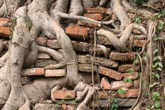 Roots Burrow The Wall. Roots of a tree burrow in ancient bricked wall. As time goes by, the roots ruin the wall into bricks stock photos
