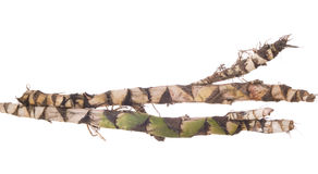 Roots calamus. Two fresh roots calamus on white background Stock Photos