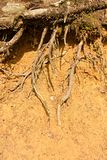 Roots in clay Royalty Free Stock Photography