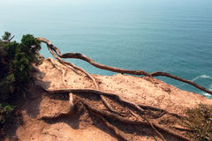 Roots on the cliff Royalty Free Stock Image