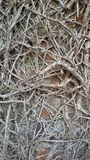 Roots of climbing vine plant. Closeup view of dried roots of climbing vine plant on the wall Royalty Free Stock Photos