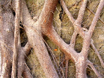 Roots Colour. Contorsioned Roots Background Royalty Free Stock Photos