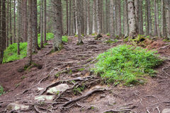 Roots of coniferous trees in the summer forest. Royalty Free Stock Photography