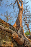 Roots cover the ruins of Ta Prohm Temple, Angkor Royalty Free Stock Image