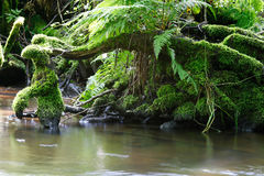 Roots covered by moss in creek Royalty Free Stock Images