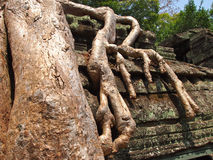Roots covering stones of Angkor Wat temple Royalty Free Stock Photo