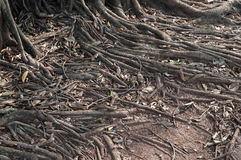 Roots crawling on the floor in search of nutrients Royalty Free Stock Photo