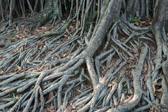 Roots crawling on the floor in search of nutrients Royalty Free Stock Photos