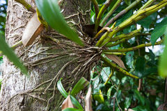Roots of Dendrobium formosum, Orchidaceae, South of Thailand Royalty Free Stock Photos