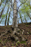 Roots of European beech Royalty Free Stock Image