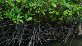 The rays of the sun illuminate the mangrove forest on the river. The roots of exotic trees under the cap of luscious greenery under the tropical sun of south stock video