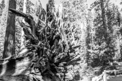 Roots of the Fallen giant at Mariposa grove. Mariposa grove at Yosemite National Park contains over 100 mature Giant Sequoias stock photo