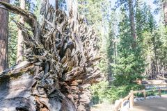 Roots of the Fallen giant at Mariposa grove. Mariposa grove at Yosemite National Park contains over 100 mature Giant Sequoias stock images