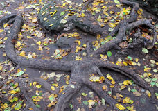 Roots and Fallen Leaves Royalty Free Stock Images