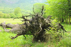 Roots of a fallen tree. A roots of a fallen tree Royalty Free Stock Images