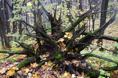 The roots of a fallen tree. Stock Image