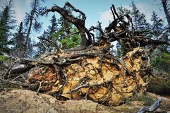 Roots of the fallen tree Royalty Free Stock Photos