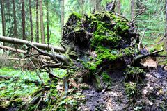 Roots of fallen tree. With moss stock image