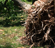 Roots of falling tree. A falling tree's roots in garden Royalty Free Stock Photos