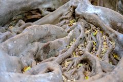 The roots of the fig tree large Branching patterns. The roots of a fig tree, large branching patterns royalty free stock photos