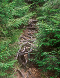 Roots of the fir-trees. Royalty Free Stock Photos