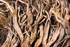 Roots in forest. The impressive roots on a tree in the tropical fores Royalty Free Stock Images