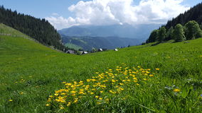 Roots grass view of yellow mountain flowers on green  meadow Stock Photography