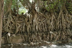 Roots grows over a wall. The roots grows over a wall Stock Photo
