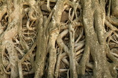 Roots grows over a wall. The roots grows over a wall Royalty Free Stock Photo