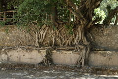 Roots grows over a wall. The roots grows over a wall Stock Photography