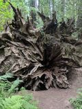 Redwood tree roots royalty free stock photos