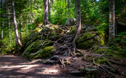 Roots. Impressive tree roots in a a beautiful trail from a national park of the region of Quebec royalty free stock image