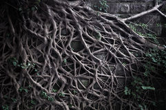 Roots In Cliff Royalty Free Stock Photography