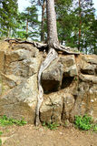 Roots inside the stone. Valaam Island, Russia Royalty Free Stock Photo
