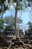 Roots invading the temple of Ta Prohm. Angkor. Royalty Free Stock Photo