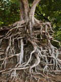 Roots of an iron wood tree north shore kauai hawaii Stock Images