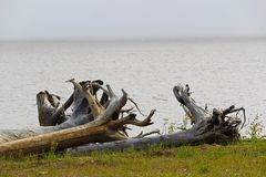 The roots of a large driftwood tree on a patch of green grass.  Stock Photography
