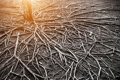The roots of a large tree that grows bigger. The concept of growth Stock Image