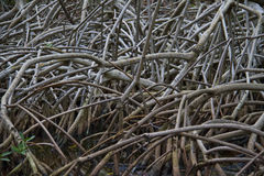 The roots in mangrove forest Stock Images