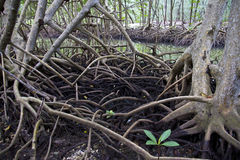 The roots of mangrove forest Stock Photo