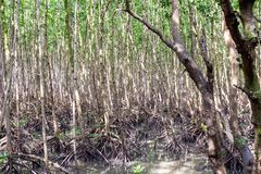 Roots mangrove forest in thailand. Selective focus royalty free stock photography
