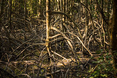 The roots of mangrove ,Thailand (high contrast) Royalty Free Stock Photos