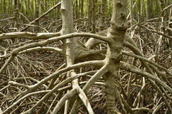 Roots of mangrove tree. S in the forest at the river estuary Stock Images
